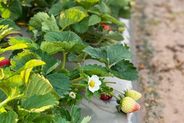 Winter Strawberries, Strawberries