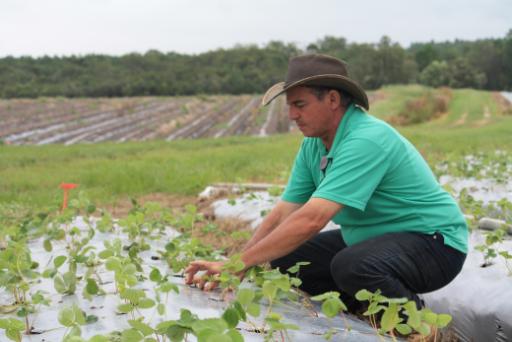 Coco Luigi, planting Strawberries
