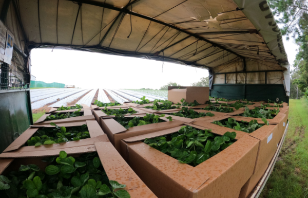 Coco Luigi, Strawberry plants