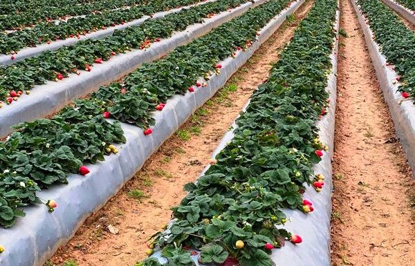 SSS Strawberries rows
