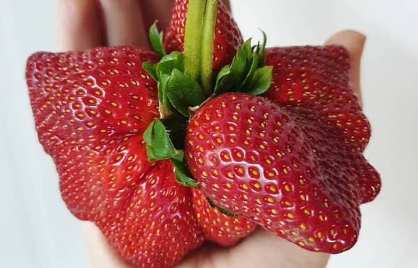Erbachers giant strawberry