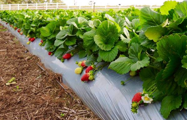 Erbachers Strawberry rows