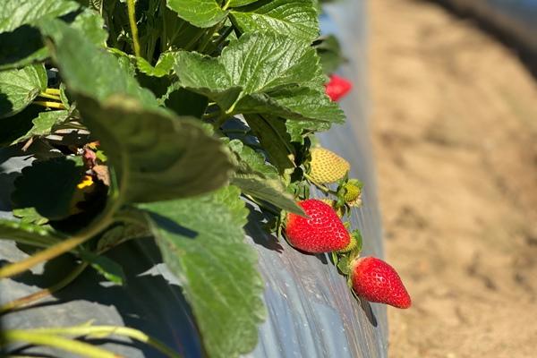 Luvaberry farm strawberries