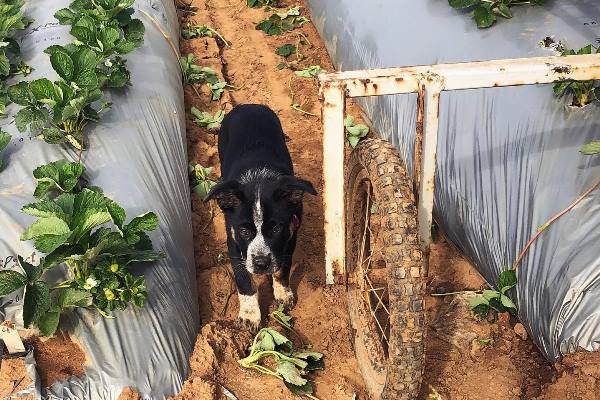 Panda the farm pup from Luvaberry