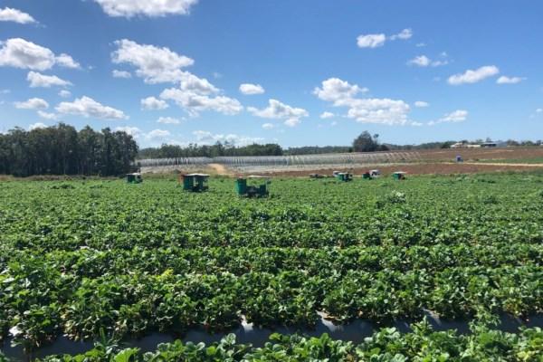 Piñata farms strawberry picking