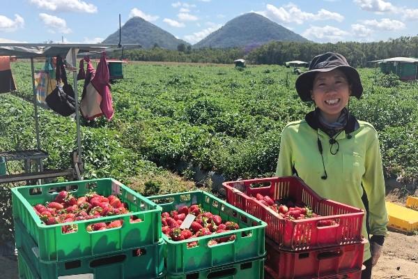 Piñata farm strawberry picker