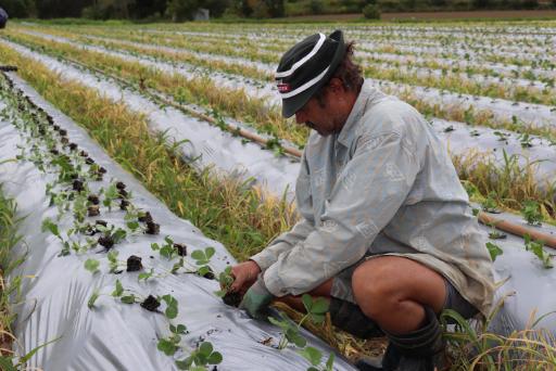 Sonnschein, Dieter planting strawberries