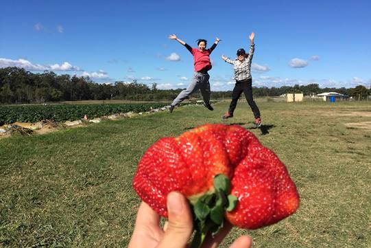 Sonnshein strawberries