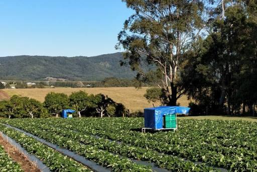 Sonnshein strawberry picker worker