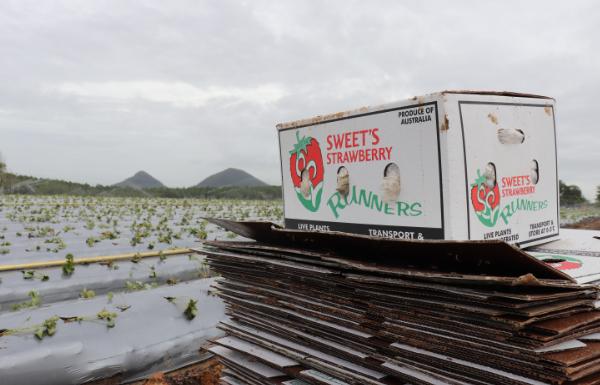 Sunray Strawberries, Runners box, planting season