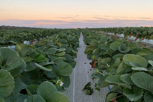 TSL strawberry rows