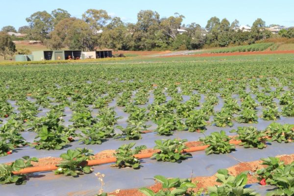 Wellington Point strawberry rows
