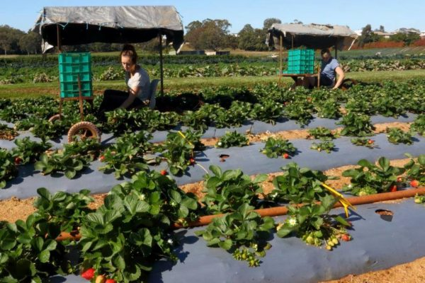 Wellington Point Strawberry pickers