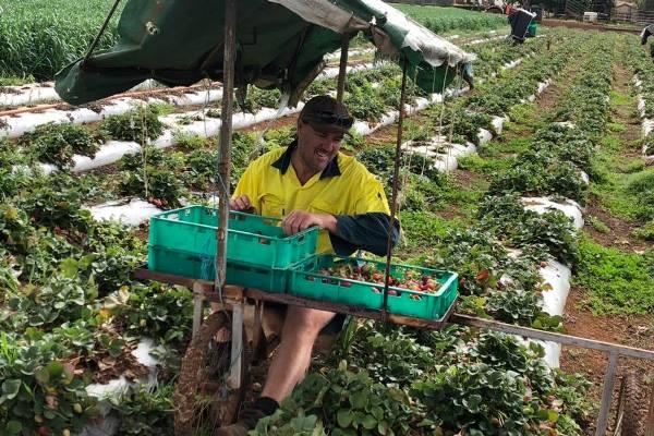 Wellington Point Strawberry picker