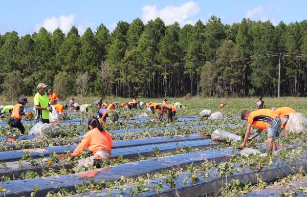 Queensland Berries planting